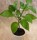 Рассаду перца лучше выращивать в горшочках и стаканчиках, так как растения плохо переносит пересадку.